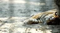 Young Amur tiger sleeping video