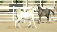 Young and beautiful horses in a corral. Nice thoroughbred foals in stable video