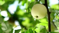 Young apple on the tree. Rain drops fall on the apple and the tree leaves video