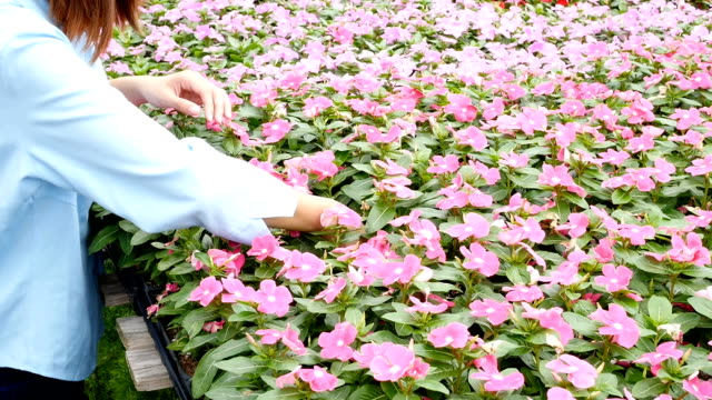 Young Asian garden center customer chooses flowers for her home video