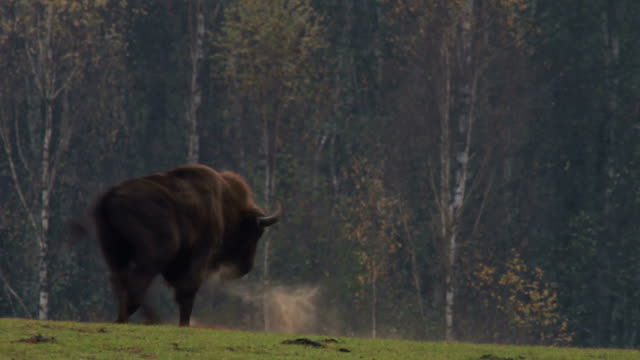 Young bison playing video