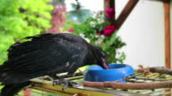 Young Black crow eat worm. Corvus corone. video