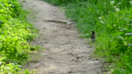 Young blackbird walks and jumps on the ground in spring video