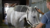 Young boy cleans a horse's head in a stall. Man cleans a white horse from dust and dirt with brush. Care for animals. Horseriding club. Closeup, close up video