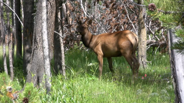 Young bull elk in the woods video