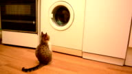 Young cat looking into working washing machine video
