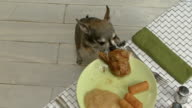 Young chihuahua staring at a plate of chicken. video
