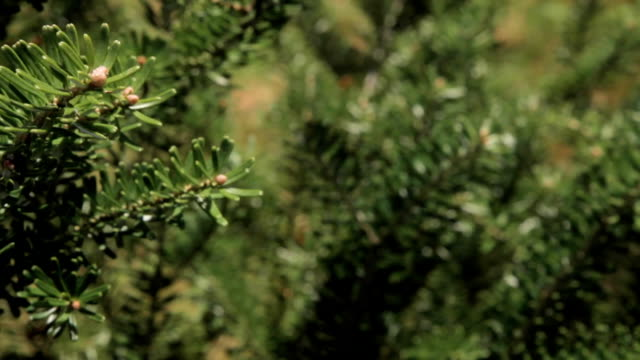 A young coniferous tree video