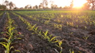 Young Corn Plants At Sunset video