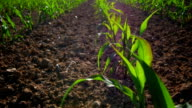 GIMBAL Young Corn Plants Growing In The Field (4K/UHD to HD) video