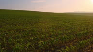 DS Young corn plants in the sunrise video