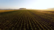 AERIAL Young Corn Plants In The Sunrise video