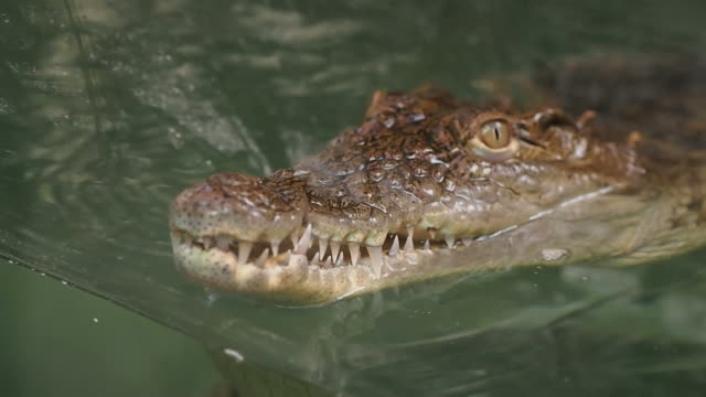 Young Crocodile video