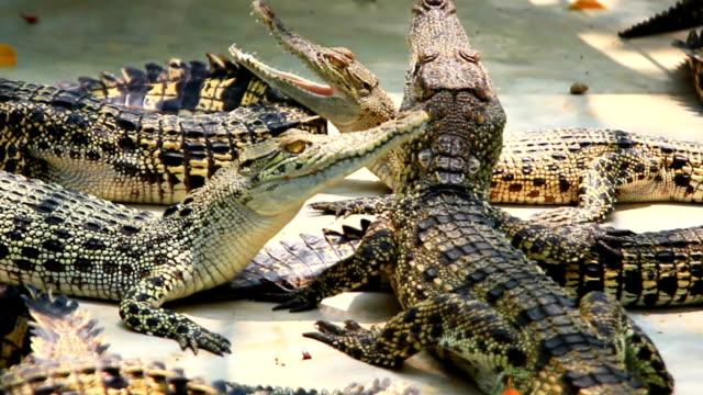 young crocodiles in farm video