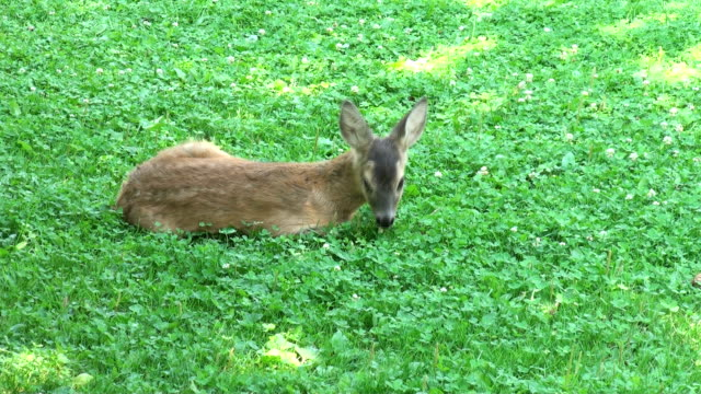 young deer resting video