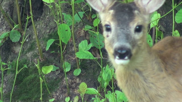 young deer running in the mountains video