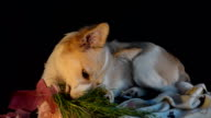 Young dog eats grass in a pot, black background and selective focus video