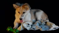 Young dog lying on a black background next to the toy, tired to play . Selective focus, artificial light video