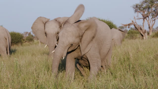 Young elephant flapping its ears in the grasslands of the Okavango Delta video