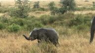 Young elephants walking, Serengeti National Park, Tanzania, Africa video