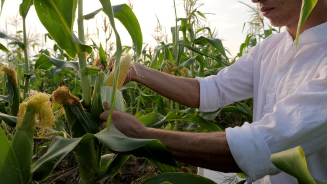 Young Farmer Checks the Ripening Corn video