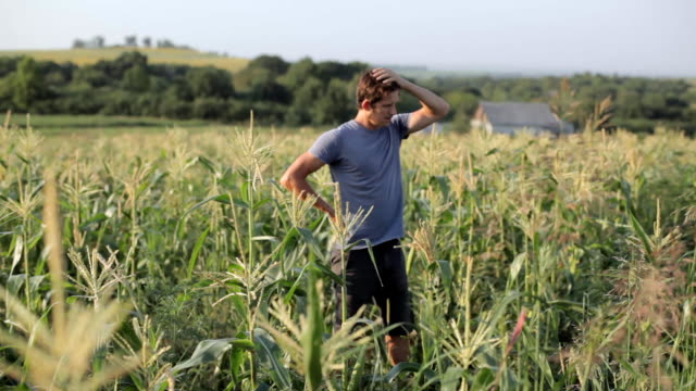 Young farmer standing and resting while working in corn field of organic farm video