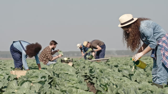 Young Farmers Harvesting Cabbages video