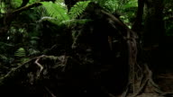SLOW MOTION: Young fern growing underneath huge old trees with overgrown roots video