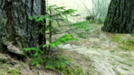 Young Fir Tree Swaying in a Strong Wind video