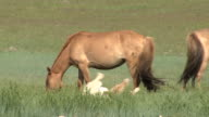 Young Foal Rolling Around On Mongolian Steppe video