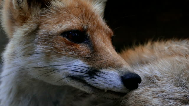 A young fox is examined around. Close-up video