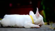 Young french bulldog white a nibble toys on the cement floor. video
