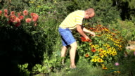 Young gardener man in shorts pick rudbeckia flowers in sunny garden video