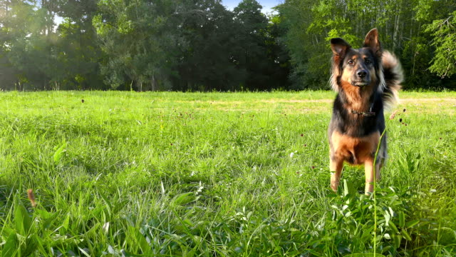 Young german shepherd waiting with impatience to run a toy video