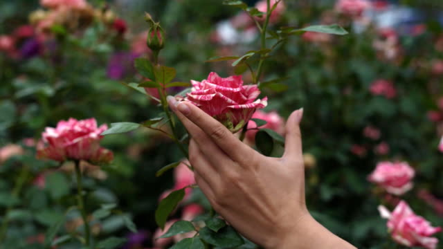 young girl holding her hands closed. then he jumps off his hands and in them lies a fold of fold. a gentle striped rose. pink garden and flower bushes video