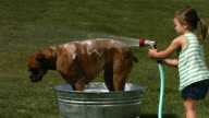 Young girl washing dog, slow motion video