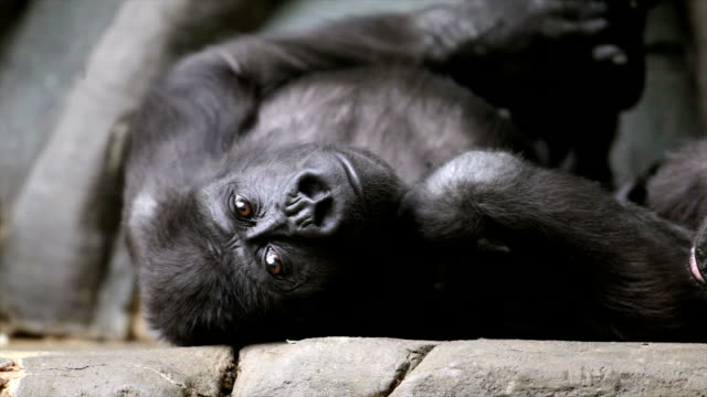 Young gorilla male, being bored in the family rest. video