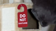 Young gray cat climbing up a beige cat tree house condo with sign Do Not Disturb video
