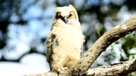 Young Great-horned Owl on branch with feathers fluffing in breeze video