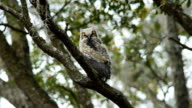 Young Great-horned Owl on oak branch with crows calling video