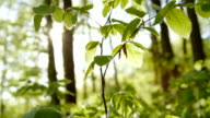 SLOW MOTION CLOSE UP: Young green leaves in deciduous forest in early spring video