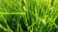 Young, green, lush grass in the rays of sunset. Walking on green meadow. video