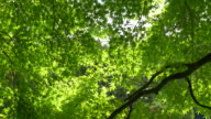 Young green spring leaves video