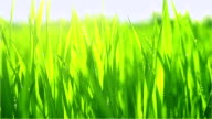 Young green wheat grass with morning dew video