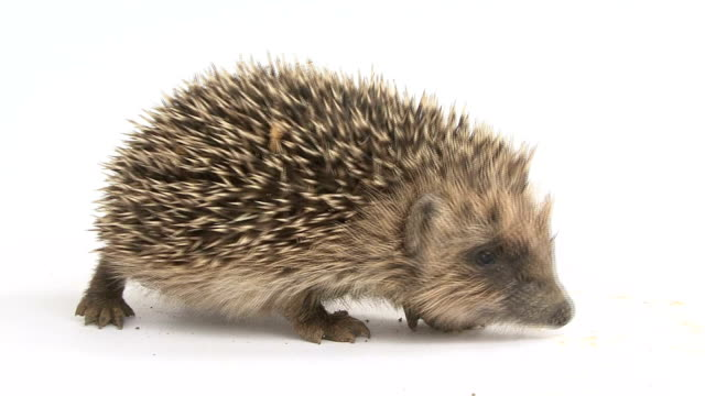 young hedgehog walking in front of a white background video
