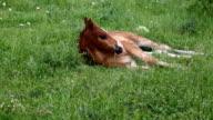 young horse graze on green grass field video