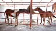 Young horses eating hay on the farm in Stable. video