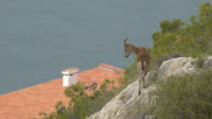 young Iberian ibex video