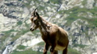Young Ibex. Giovane Stambecco video