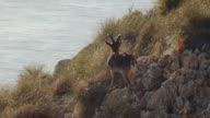 Young ibex male video